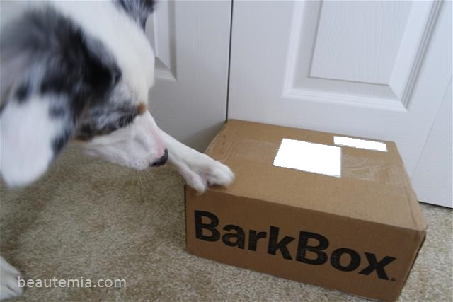 BarkBox & Border Collie