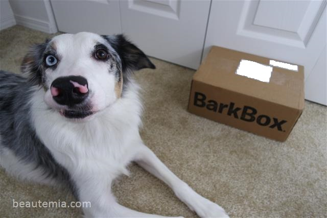 BarkBox & Border Collie