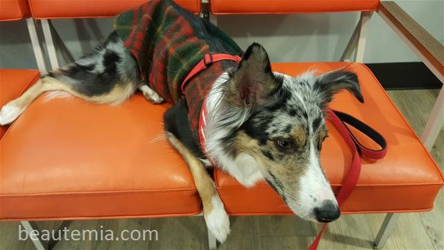 Dermatology Center for Animals, Dog allergy & border collies