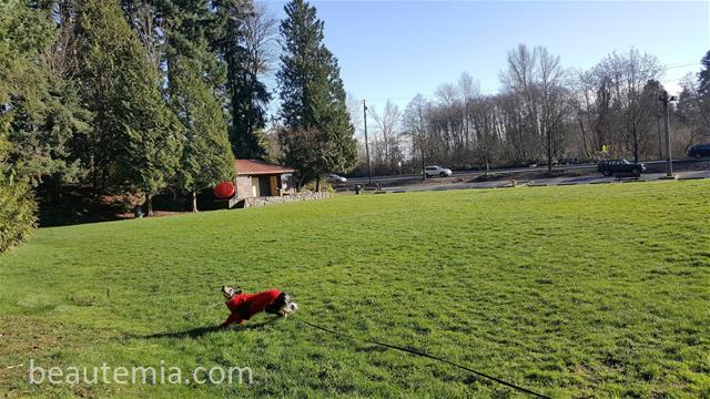 Wilcox Park in Lynnwood WA, Seattle parks, Seattle dog parks, bellevue dog parks, border collies, HMart & off-leash dog parks
