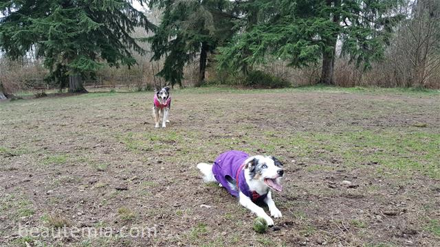 Willis Tucker Off-leash Dog Park, off-leash dog parks near Snohomish, off-leash dog parks near Seattle, off-leash dog parks near Lynnwood, Marymoor dog park, border collies, cute dogs & protein allergy in dogs